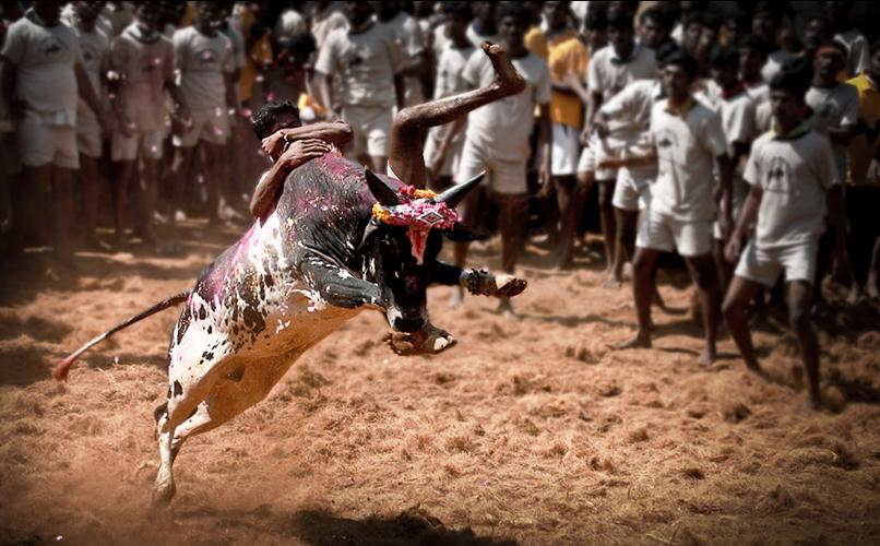 Madurai-alanganallur-jallikattu