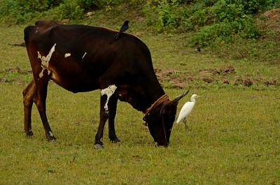 pongal birds