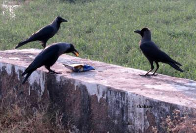 crows eating chips