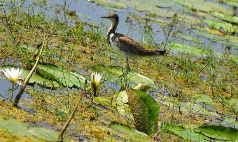 chembarambakkam birds