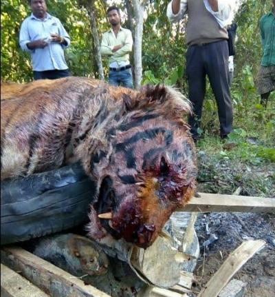 tiger-killed